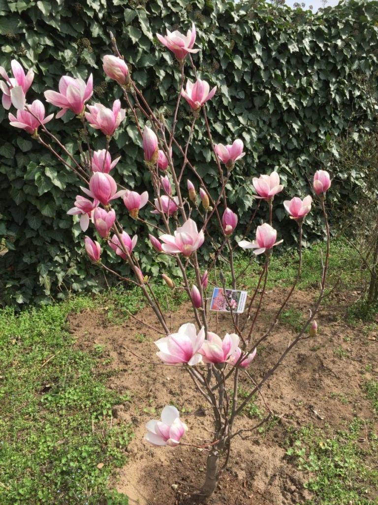 Virágzó magnólia fa